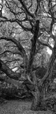 OAK FOREST #2