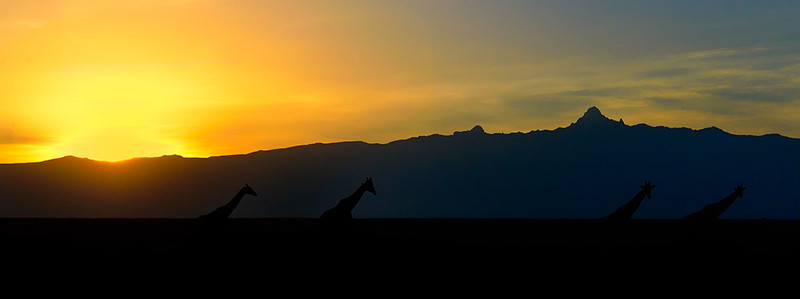 Line of Giraffes At Sunrise, Sweetwater, Kenya, East Africa