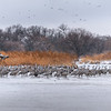 Panorama of Sandhill Cranes roosting on the Platte River near Kearney, Nebraska during their March migration