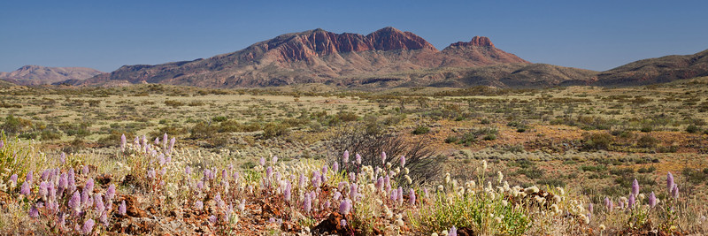Mount Sonder with Ptilotus flower display