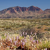 Mount Sonder with Ptilotus flower display