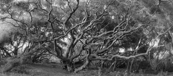 OAK FOREST #1