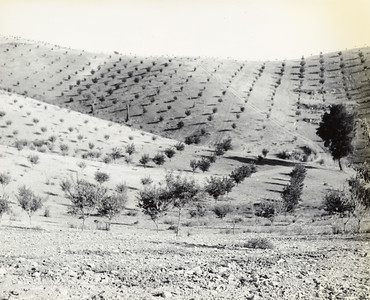 Dry Land Almond Orchard, 1950s.  #1950.002.008.84.