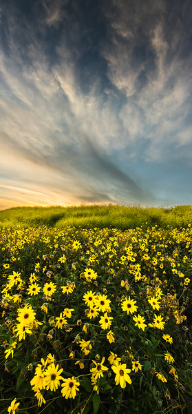 Wildflowers at sunset, Palos Verdes