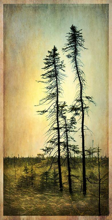 Big bog Black Spruce