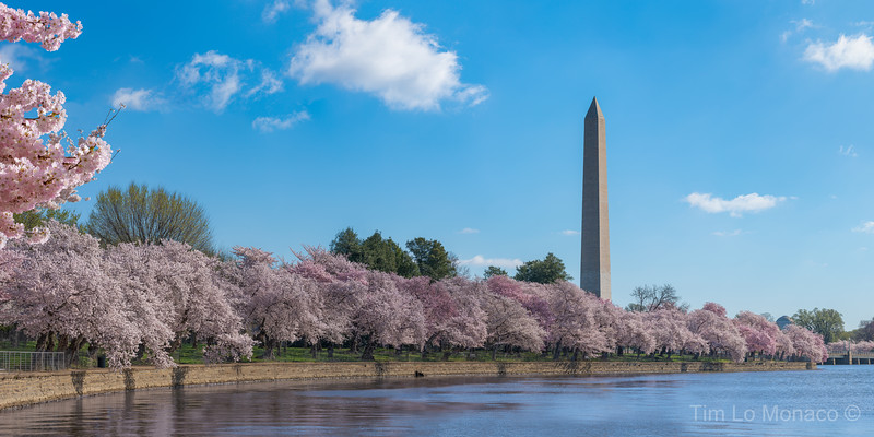 Washington Monument & Cherry Blossoms III