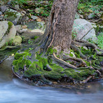 Swift Run Tree Roots I