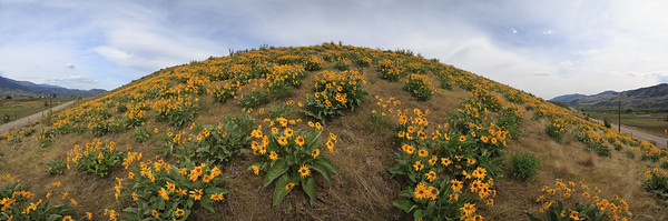 Black Sage Road Balsamroot Explosion Panoramic