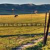 pano-cows_6784