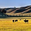 pano-cows_6779