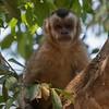 A curious Capuchin
