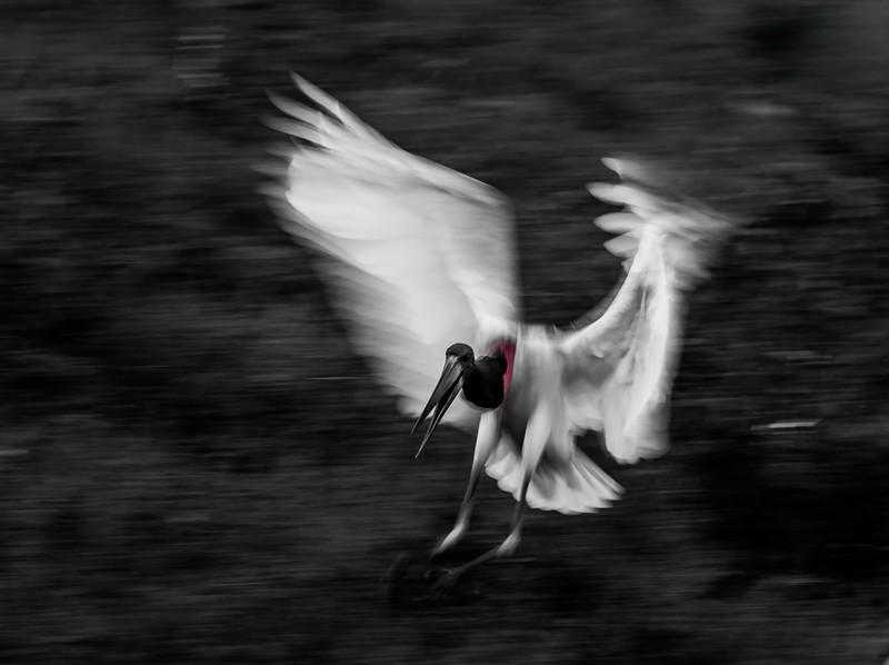 A Jabiru stork coming in to land in the fish-rich wetlands near Araras Lodge