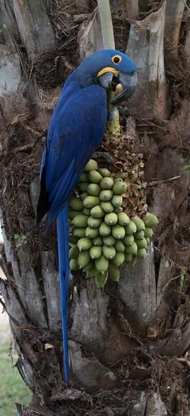 Hyacinth Macaw at Hotel Porto Jofre