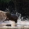 Capybara playtime