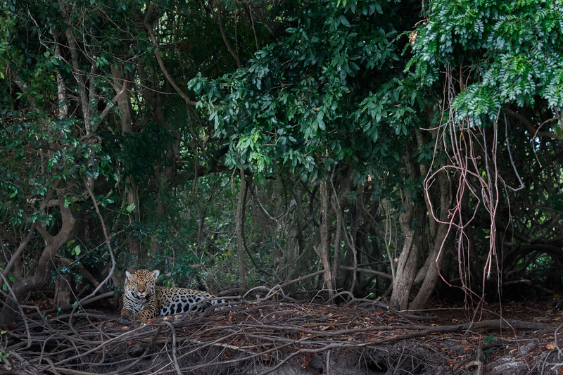 A young male Jaguar resting on the bank of the Paraguay River