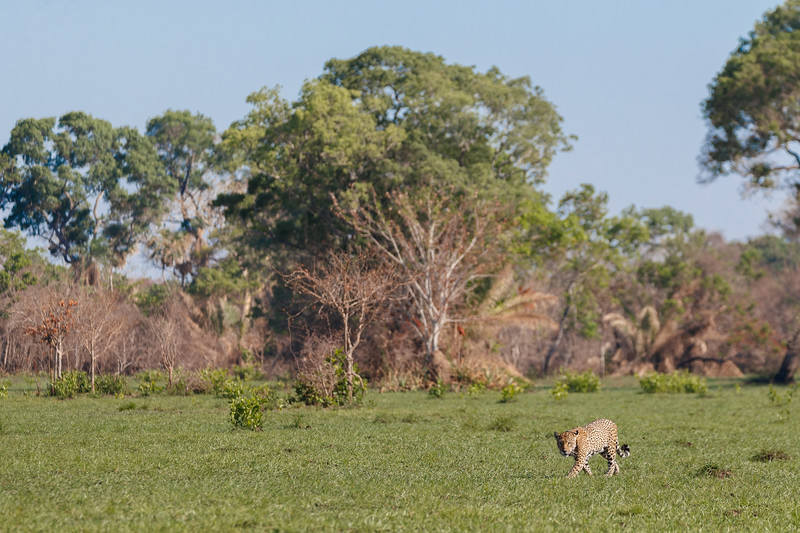 It was fantastic to see Jaguars in open spaces