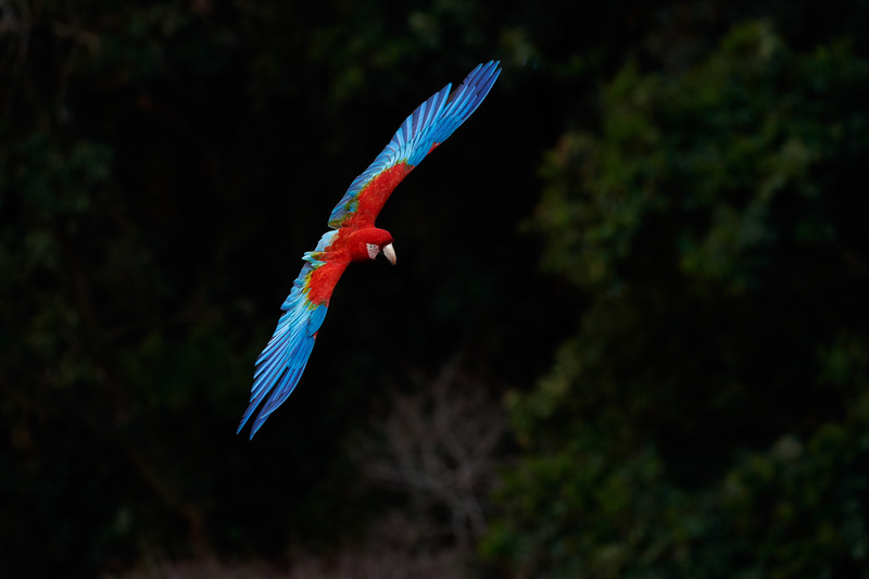 There are many Red and Green Macaws at the Buraco das Araras