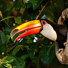 Toco Toucans are the largest toucans