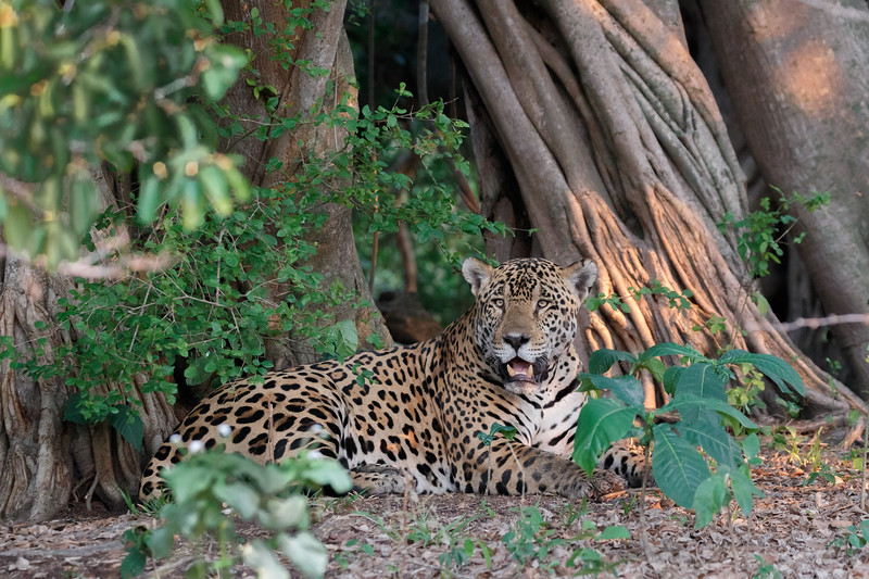 A beautiful male Jaguar at the Caiman Ecological Refuge