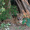 A beautiful male Jaguar at the Caiman Ecological Refuge