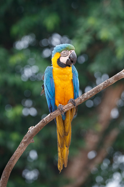 A Blue and Yellow Macaw posing for its photo