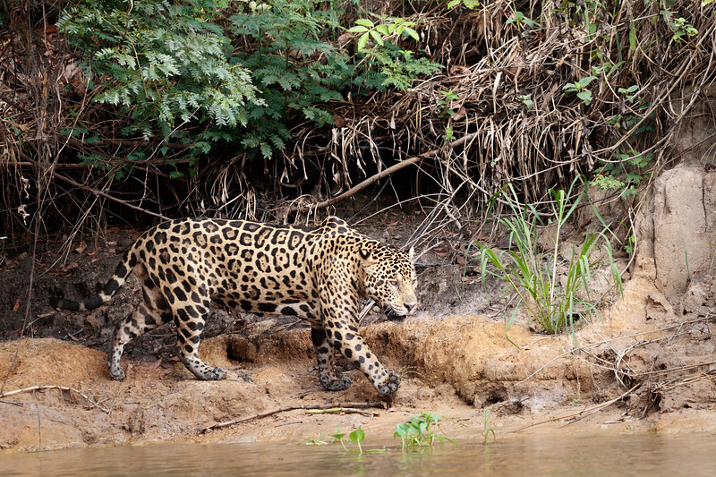 Jaguars seem to be either asleep or hunting!