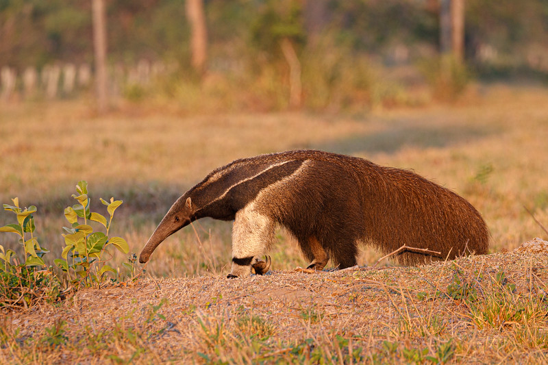 Giant Anteaters are remarkable creatures!
