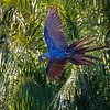 A Hyacinth Macaw taking flight
