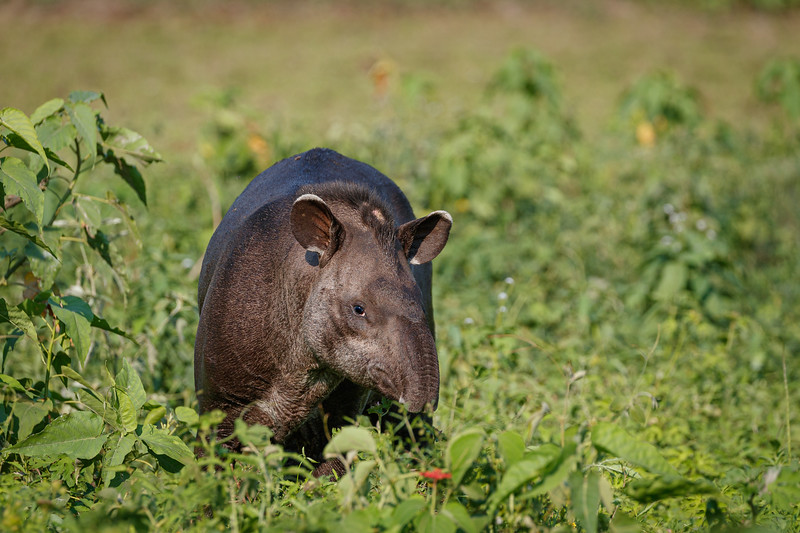 Tapirs are normally nocturnal so we were lucky to see one in daylight