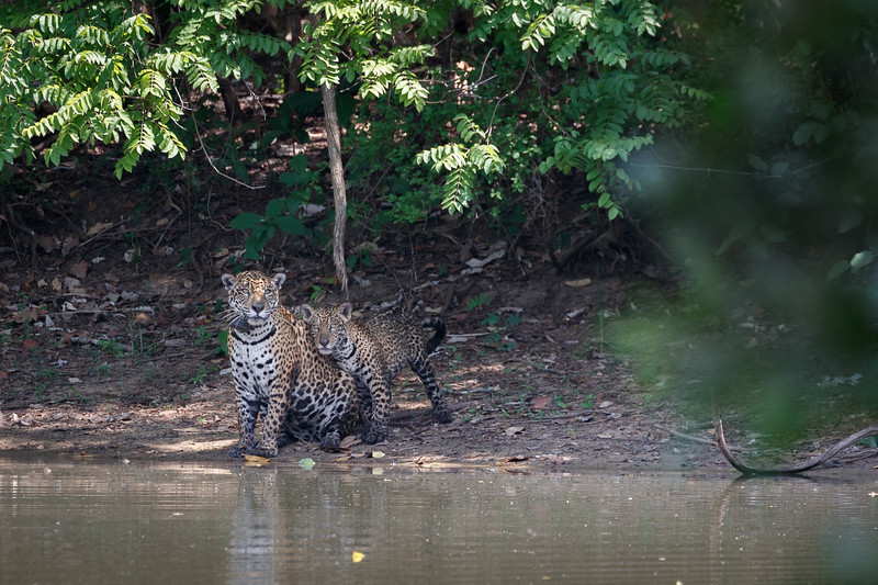 The female, Gaia, was joined by her male cub, Angelim