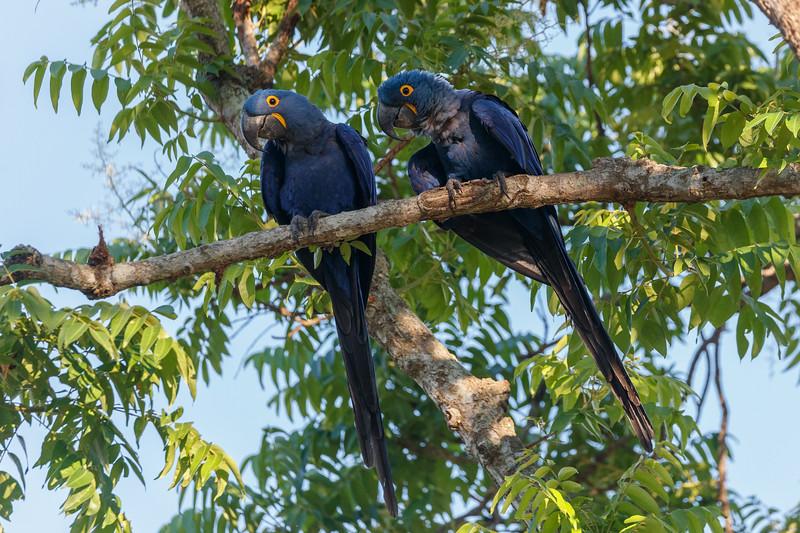 Hyacinth Macaws pair for life
