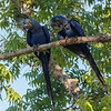 Hyacinth Macaws pair for life
