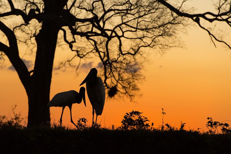 Sunset, Jabiru stork silhouette
