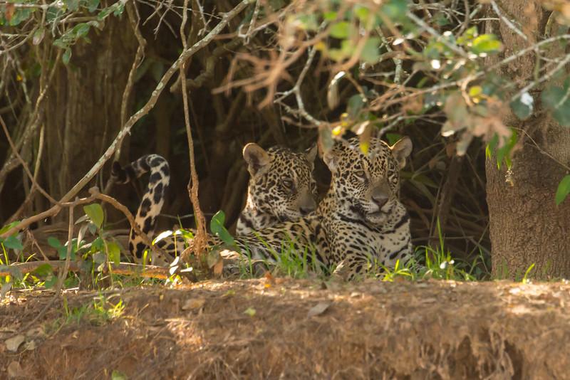 Jaguar, mom with cubs, Gisele with Copa & Pele