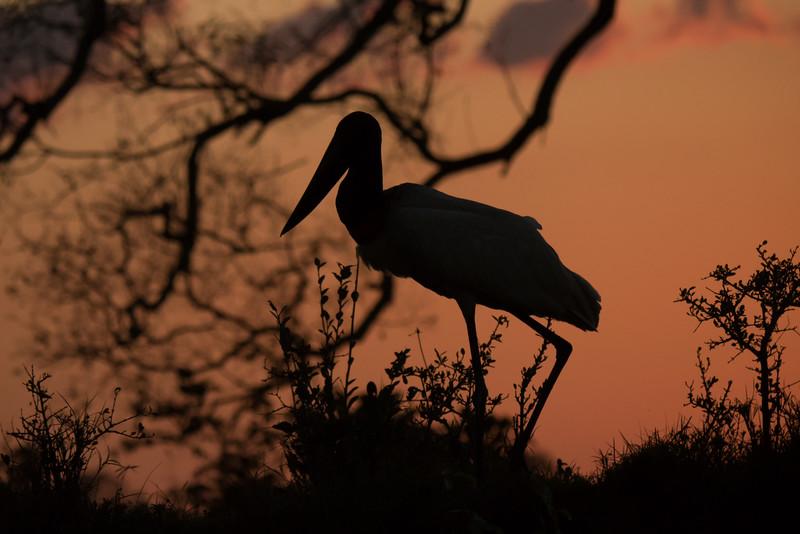 Jabiru Stork silhouette, sunset