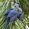 Hyacinth macaw trio