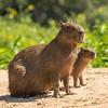 mom and baby CApybara