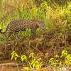 jaguar, on bank, Patricia