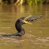 neotropic cormorant with fish