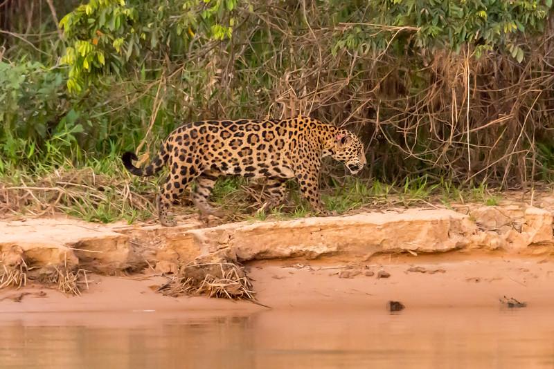Jaguar walking along beach of river, twilight, Jorge