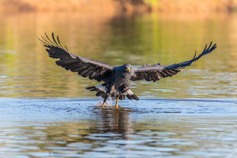 Great Black Hawk catching piranha