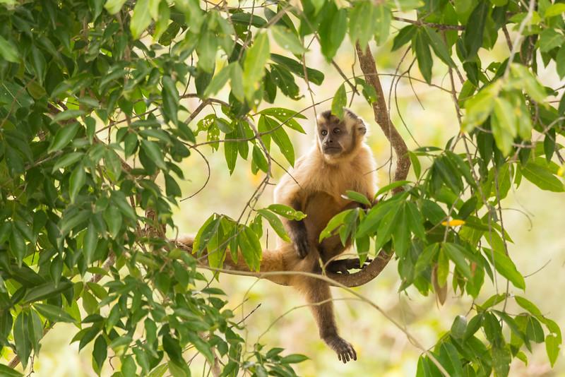 Capuchin-Monkey-animal behavior-Pantanal-Brazil-Christine Crosby-Sunlight Inspirations