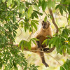 Capuchin-Monkey-animal behavior-Pantanal-Brazil-Christine Crosby-Sunlight Inspirations