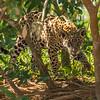 jaguar cubs, Copa or Pele