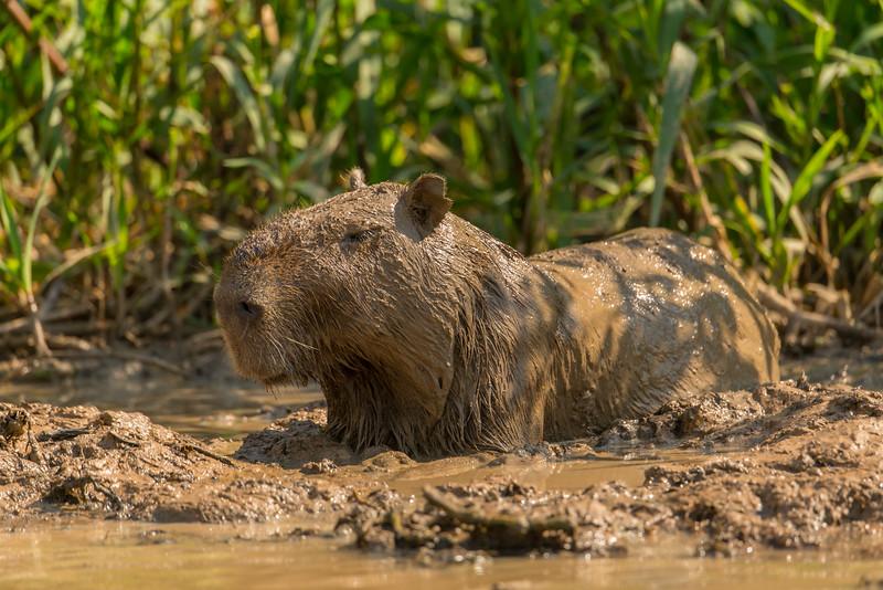 Capybara in mud