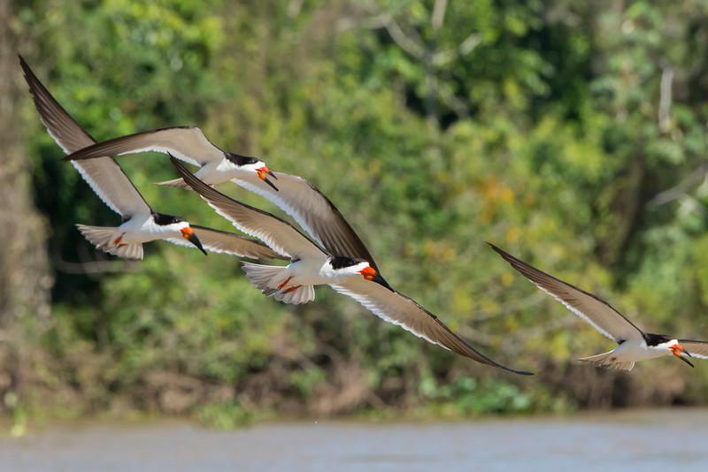 Skimmers flying