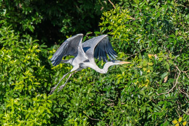 Cocoi Heron flying