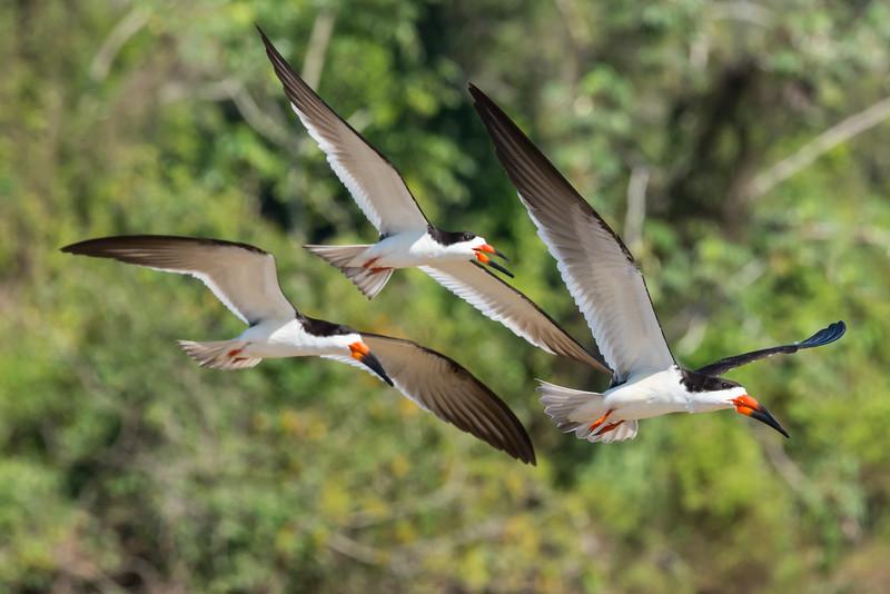 Skimmers-birds-flight-Pantanal-Brazil-trio
