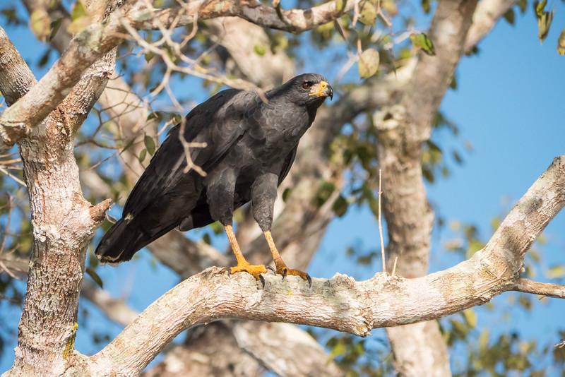 Great Black Hawk in tree
