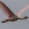 Roseate Spoonbill, flying